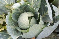 年轻圆白菜头 特写镜头新鲜的嫩卷心菜在菜园里 免版税库存照片