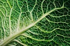 圆白菜绿色开胃菜 免版税库存照片