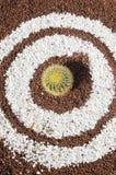 圆的多汁植物 免版税图库摄影