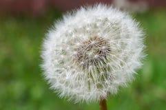 圆的白色蒲公英在草背景中 免版税库存照片