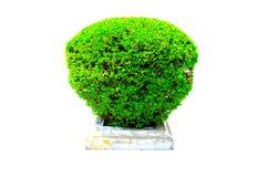 圆的矮小的树篱砍在白色背景隔绝的一个方形的具体罐的绿色树 免版税库存照片
