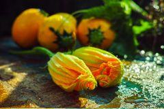 圆的黄色夏南瓜和夏南瓜花,新鲜在庭院里, 免版税图库摄影