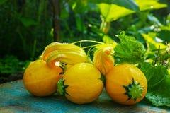 圆的黄色夏南瓜和夏南瓜花,新鲜在庭院里, 图库摄影