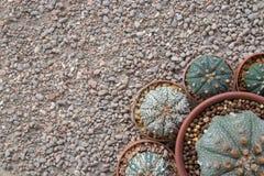 圆的仙人掌Astrophytum种类 库存照片