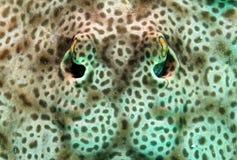 圆的黄貂鱼 免版税图库摄影