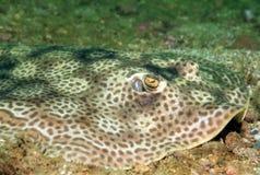 圆的黄貂鱼 免版税库存图片