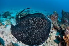 圆的Ribbontail光芒在科科岛 免版税库存图片