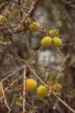 圆筒芯的灯果子 库存照片