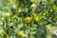 圆筒芯的灯树新鲜水果在分支的 库存照片
