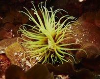 圆筒银莲花属- Cerianthus membranaceus -加那利群岛 免版税库存照片
