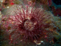 圆筒银莲花属- Cerianthus membranaceus -加那利群岛 免版税库存图片
