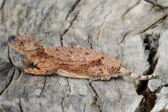 圆被盯梢的有角的蜥蜴(Phrynosoma modestum) 免版税库存照片
