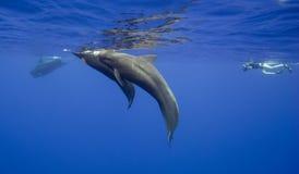 圆头鲸在毛里求斯 免版税库存照片