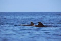 圆头鲸 免版税图库摄影