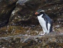 圈套企鹅, Eudyptes robustus 免版税库存照片