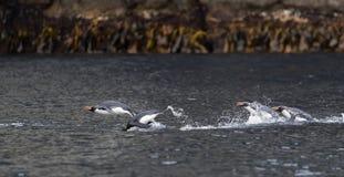 圈套企鹅, Eudyptes robustus 库存照片