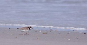 圈状海滩的珩科鸟 免版税图库摄影