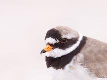 圈状珩科鸟的纵向 库存图片