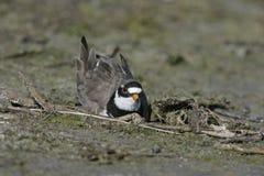 圈状的珩科鸟, Charadrius hiaticula 免版税图库摄影
