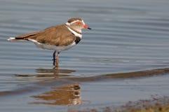 圈状的珩科鸟(Charadrius hiaticula)在克留格尔国家公园 免版税库存照片