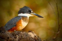 圈状的翠鸟, Megaceryle torquata,蓝色和橙色鸟坐树枝,鸟在自然栖所, Baranco女低音, 免版税图库摄影