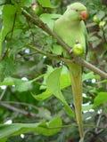 圈状的长尾小鹦鹉上升了 库存照片