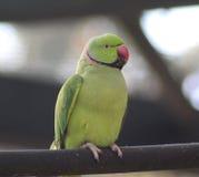 圈状的长尾小鹦鹉上升了 免版税库存图片