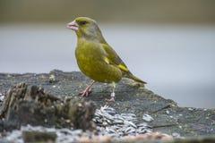 圈状的Greenfinch (Carduelis虎尾草属) 免版税库存照片