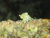圈状蓝色更加极大的章鱼 库存照片