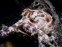 圈状蓝色的章鱼 库存图片