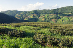土井的美斯乐茶园在清莱,泰国 免版税库存图片
