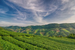 土井的美斯乐茶园在清莱,泰国 库存照片