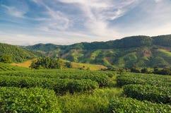 土井的美斯乐茶园在清莱,泰国 库存图片