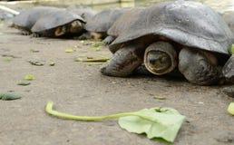 土地乌龟,草龟 免版税图库摄影