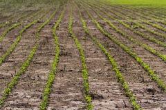土地凹线有毛豆种植园的 库存照片