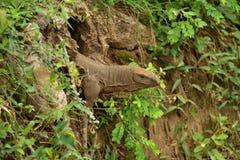 土地监控蜥蜴 库存照片