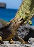 土地鬣鳞蜥吃一个仙人掌 加拉帕戈斯群岛 海洋太平洋 厄瓜多尔 免版税库存照片