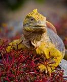 土地鬣鳞蜥坐岩石 加拉帕戈斯群岛 海洋太平洋 厄瓜多尔 图库摄影