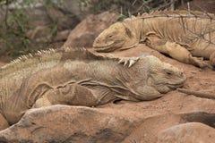 土地鬣鳞蜥夫妇-加拉帕戈斯 库存照片