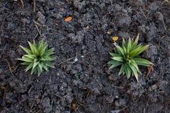从土壤的植物 库存图片