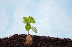土壤的薄荷的植物与可看见的根 免版税库存照片