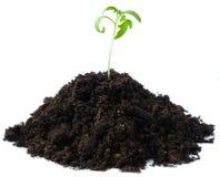 土壤蕃茄 免版税库存图片