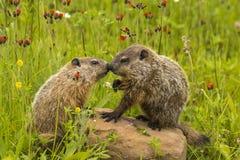 土拨鼠亲吻 库存照片