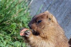土拨鼠和红萝卜 库存照片