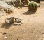 土拨鼠在动物园里 库存图片