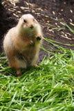 土拨鼠在动物园里 库存照片