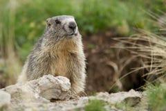 土拨鼠在阿尔卑斯 免版税库存照片