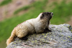 土拨鼠坐与狭窄的景深的一个岩石 免版税库存图片