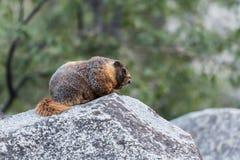 土拨鼠外形在大岩石的 库存图片