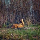 土拨鼠家庭在春天草甸 免版税图库摄影